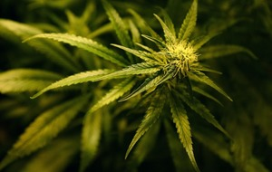 There's a new UK study testing the effects of cannabis on children with brain tumours