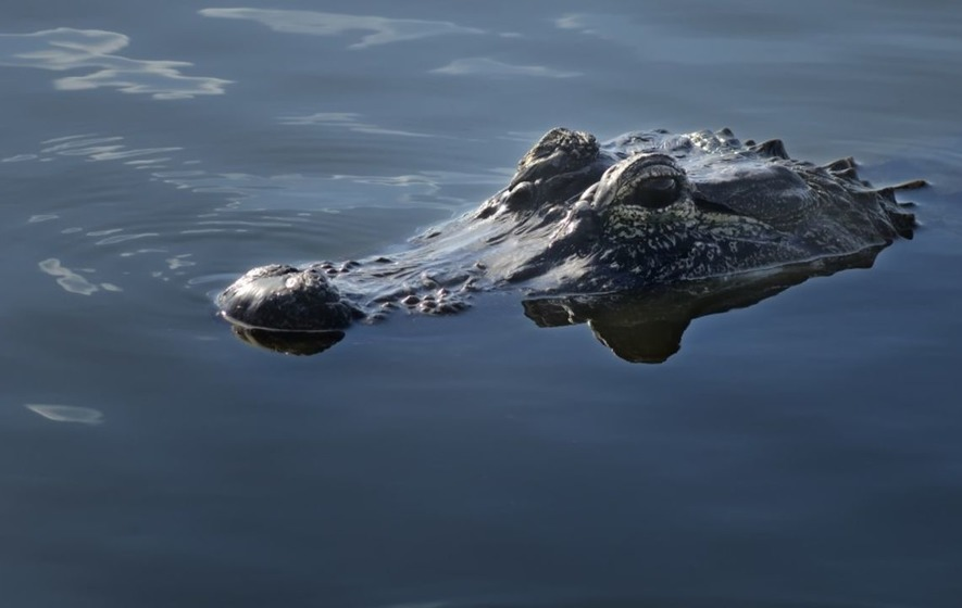 A 10-year-old escaped the jaws of an alligator by 'poking it in the nostril'