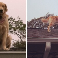 This Golden Retriever who loves to hang out on the rooftop has become the internet's latest hero