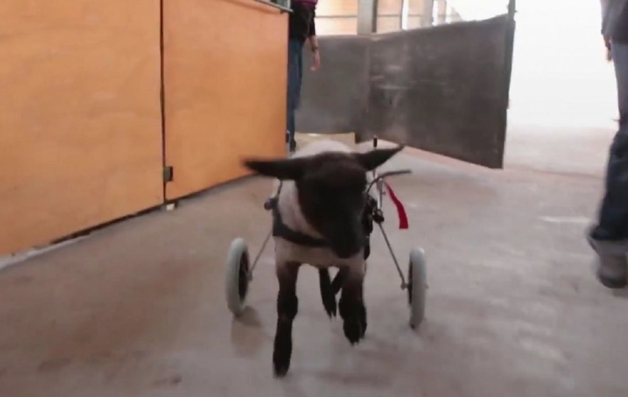 This disabled sheep was given a cart so that she could run around for the first time