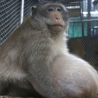 This obese Thai monkey has been placed on a very strict diet