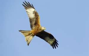 Public urged to help build record of red kite population
