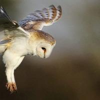 Wildlife volunteers needed for annual barn owl survey