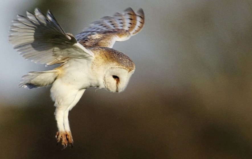 Wildlife volunteers needed for annual barn owl survey