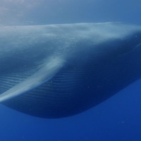 Blue whales' huge size 'due to binge-eating through climate change'