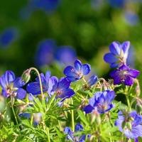 The Casual Gardener: Growing golden jubilee greats