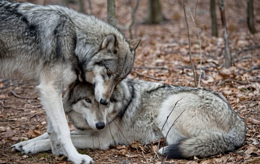 Take On Nature: It's time to reintroduce wolves to Ireland