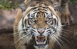 Female zookeeper killed by tiger in 'freak accident'