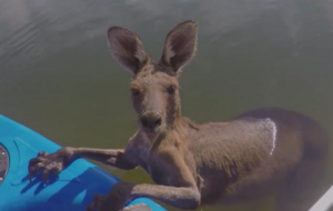 This kangaroo getting saved from a canal is the tensest rescue mission you'll see today