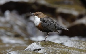 Take on Nature: No coincidence I saw my first Irish dipper on the Cladagh River