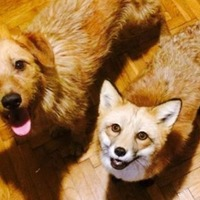 This fox and this dog have become the best of friends