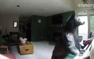This black bear showed off his piano skills after breaking into a Colorado home
