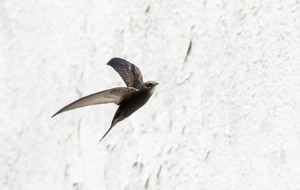 Take On Nature: Swift is the Greyhound of the sky