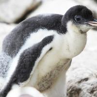 Belfast zoo welcomes baby penguins