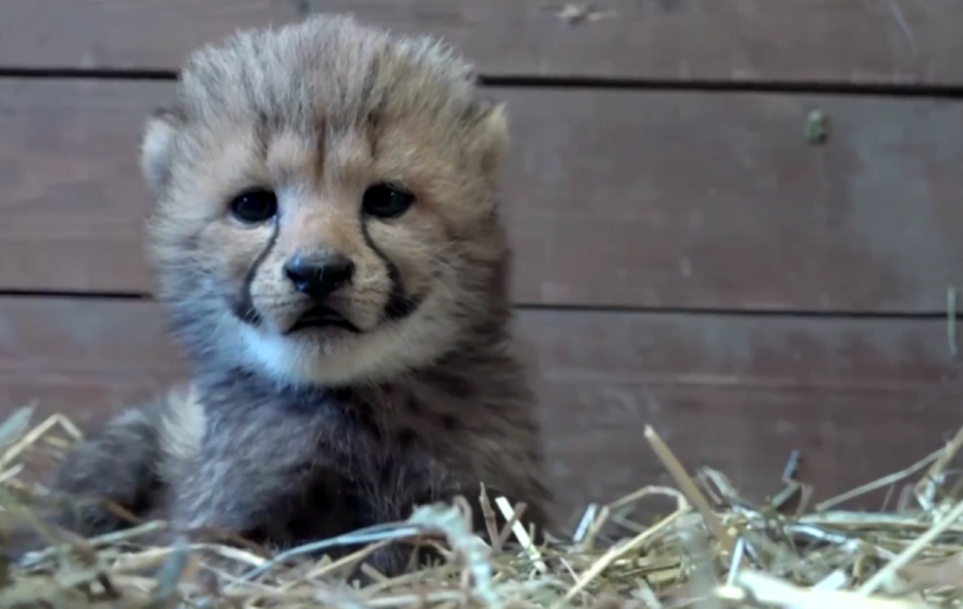 You won't be able to tell if these baby cheetahs are cuddly toys or not