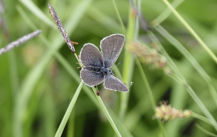 NIEA discovers rare butterfly previously feared extinct in Northern Ireland