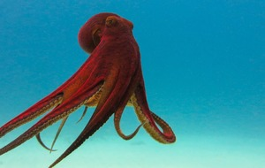 It's Cephalopod Week: Here's why squids and octopuses are truly amazing