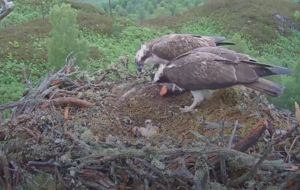 Woodland Trust Scotland welcomes two adorable osprey chicks