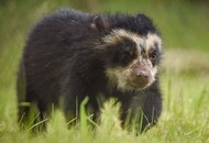 Great Britain's first Andean bear cub has ventured out of its den to say hello