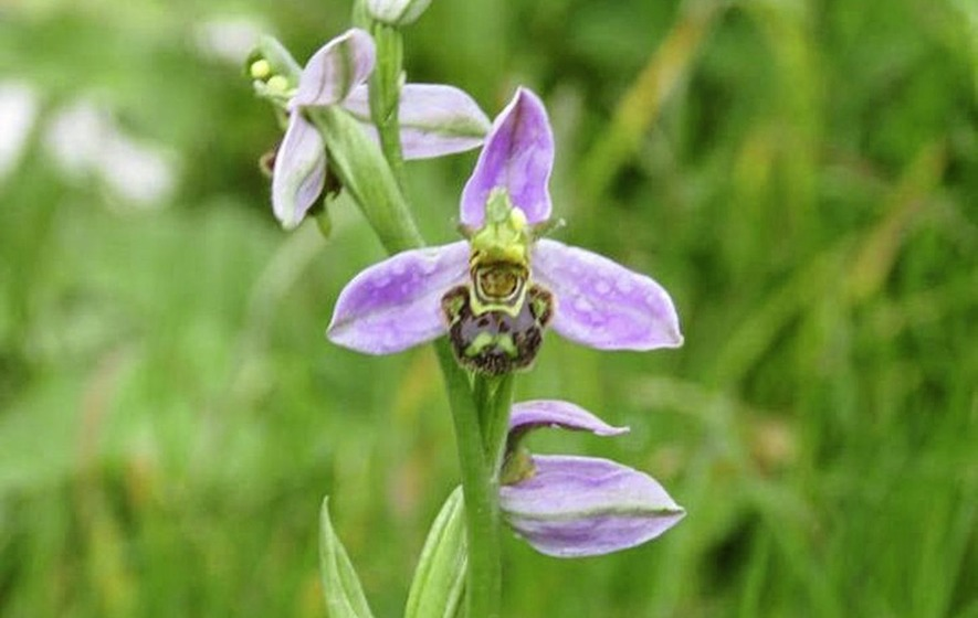 Bee orchid on roadside verge creates a buzz