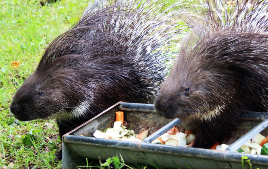 Belfast Zoo has 11 new porcupines