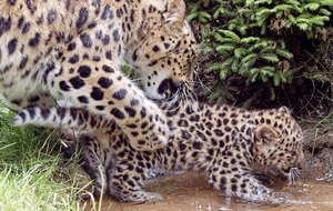 Amur leopard cubs make first appearance at German zoo