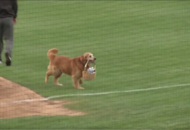 All dogs are very good but this baseball pup who brings refreshments to players is the actual best