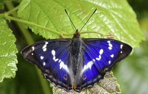 Rock star of the butterfly world makes earliest appearance in 120 year