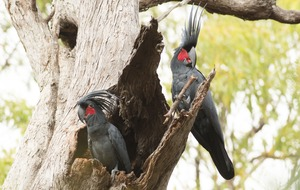 Palm cockatoos make their own drumsticks from twigs and use them to play sick beats
