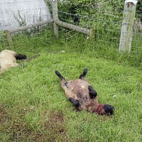 Six lambs killed in Co Down farm attack