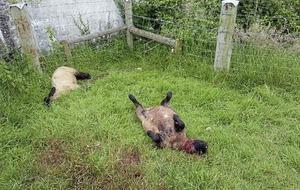 Six lambs killed in Co Down farm attack