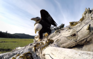 Watch an Eagle steal a GoPro in this epic footage