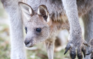 Let Jellybean the joey's first journey out of the pouch bring some light into your life