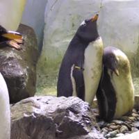 Meet the adorable new baby penguin at Birmingham Sea Life Centre