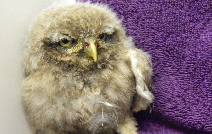 RSPCA Norfolk's latest intake of injured and orphaned owlets is so adorable it hurts
