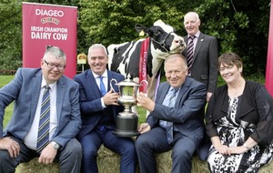 Search is on for Ireland's finest dairy cow