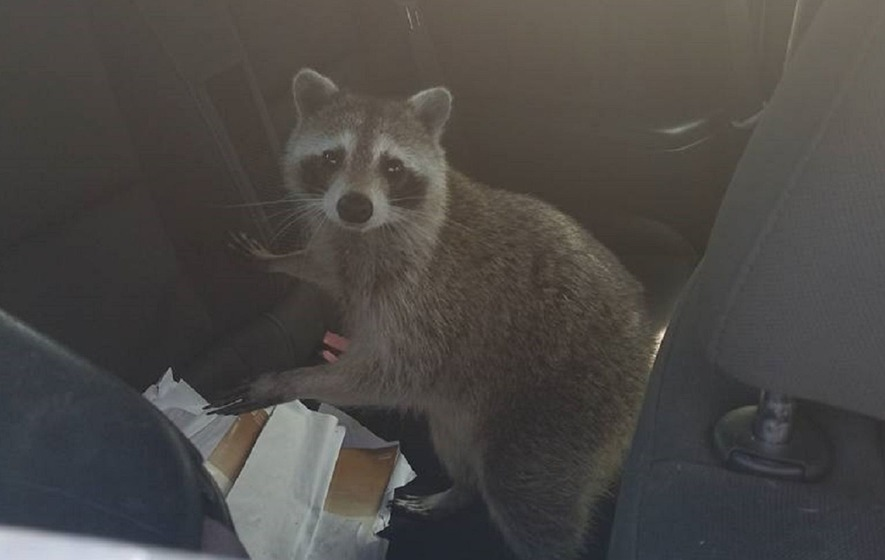 This plucky raccoon crept into a car so she could safely give birth