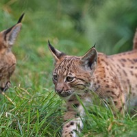 Everything you need to know about the move to reintroduce lynx to the British countryside