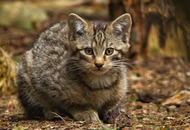 See adorable Scottish wildcat kittens which are key to species survival