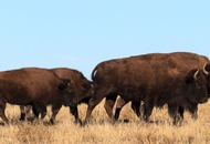 All in a day's work: Police help round up escaped bison herd