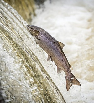 Take on Nature: Salmon knowledge can teach us much