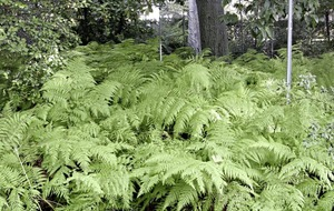 The Casual Gardener: Fantastic ferns