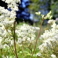 Take on Nature: Meadowsweet, aka courtship and matrimony