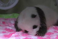 Drop everything and look at this adorable giant panda cub