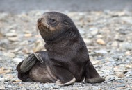 A baby seal has been rescued from a field 10km from the beach in New Zealand