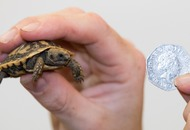 What's more adorable than a baby tortoise? One the size of a coin