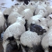 These ingenious rabbits escaped a flood on the back of a sheep