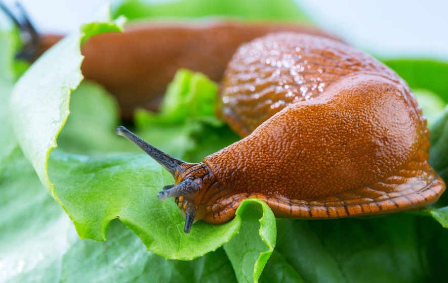Slug slime inspires a new type of surgical glue