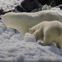 These polar bears couldn't believe their luck when a snow delivery was made to their zoo