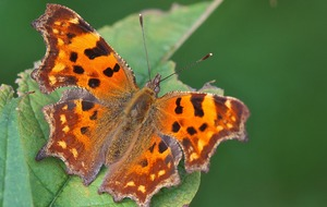 Wildlife lovers are being urged to help keep track of 'comeback kid' comma butterfly